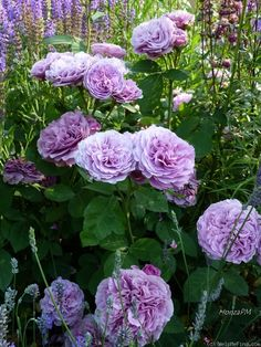 'Lavender Ice ' Rose Photo