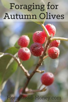 Autumn olive bushes produce thousands of tart and delicious fruits. Here are some tips for foraging for Autumn olives, and ways to enjoy eating them!   Homestead Honey