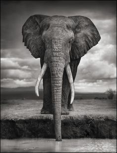 View Elephant drinking, Amboseli by Nick Brandt on artnet. Browse upcoming and past auction lots by Nick Brandt. Nick Brandt, Wild Life, Beautiful Creatures, Animals Beautiful, Cute Animals, Wild Animals, Majestic Animals, Beautiful Images, Baby Animals