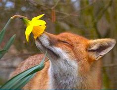 Love this pic of fox and daffodil from Wild for Wildlife and Nature on Facebook