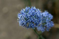 Allium  caeruleum Allium, Dream Garden, Purple, Blue, Dandelion, Plant, Dandelions, Taraxacum Officinale, Viola