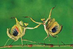 """Pareja de #Insectos #Anthropoda #MantisReligiosa captadas durante el cortejo (la danza parece una #SuerteDeBanderillas en la #LidiaDelToro); está especie luego de la cupula sexual la hembra devora al macho; conocida también cómo """"SantaTeresa""""; especie """"Mantodeo""""; familia """"Mantidae""""/// #Twitter"""