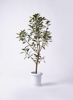 観葉植物 フランスゴムの木 8号 プラスチック鉢を送料無料で最短翌日にお届け。開店祝い、移転祝い、園芸やお部屋のインテリアに人気のプラスチック鉢の観葉植物をお求め安い価格・値段で提供
