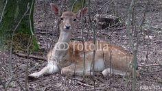 """Laden Sie den lizenzfreien Videoclip """"Fallow Deer"""" zum günstigen Preis herunter. Stöbern Sie in unserer Bilddatenbank https://de.fotolia.com/partner/200576682 und finden Sie schnell das perfekte Stockbild/-video. ( Damhirsch )"""