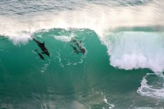 Dolphins riding the waves Nature's Valley in South Africa