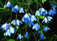 Climbing Bluebells, Sollya heterophylla, 15 seeds, Australian shrubby vine, edible berries, easy climber, ground cover, drought tolerant