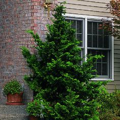 """""""Top 10 trees for small spaces   Dwarf Hinoki false cypress   Sunset.com"""""""