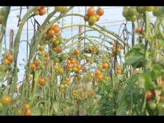 Colección audiovisual sobre Horticultura: TOMATE