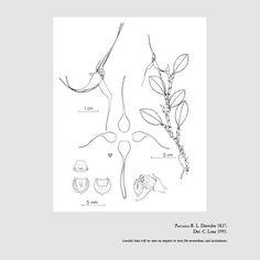 Brachionidium dressleri