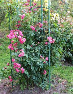 Rosa trepadeira (Rosa hybrid) - Esse tipo de rosa é um arbusto escandente (que se prende a outra planta ou suporte por enrolamento ou por meio apêndices, como gavinhas, raízes aéreas etc.) e deve ser amarrado. Tem como característica as formas arredondadas, folhas densas com ótima resistência ao frio e rápido crescimento. Gosta de solo argiloso com matéria orgânica e regas regulares