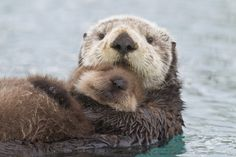 Mother Sea Otter Holding Newborn Pup Out Of Water, Prince William Sound, Southcentral Alaska, Winter