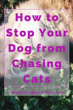 How to Stop Your Dog from Chasing Cats | Dog Training Tips | Dog Obedience Training | Dog Training Commands | http://www.dogtrainingadvicetips.com/how-to-stop-your-dog-from-chasing-cats