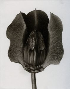 karl blossfeldt fine art photography Karl Blossfeldt, History Of Photography, Fine Art Photography, Nature Photography, Flora Flowers, Seed Pods, Natural Forms, Fine Art Gallery, Botanical Illustration