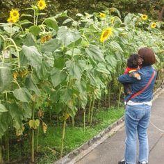 日比谷公園散歩 向日葵綺麗だね