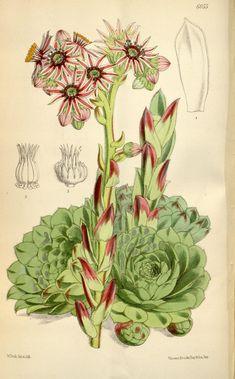 Curtis's botanical magazine.. London ; New York [etc.] :Academic Press [etc.]. biodiversitylibrary.org/page/468540