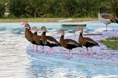 Els llacs en l'àmbit de la fauna: El llac dels ànecs a Monterrey, Mèxic.