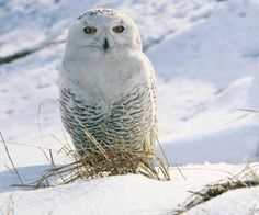 artic white owl