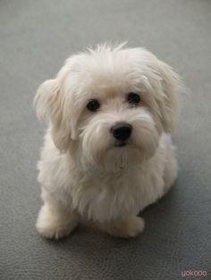 Coton De Tulear Puppy Cut 1000+ ideas about <b>coton de tulear</b> on pinterest  maltese ...