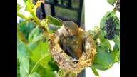 ♥ Phoebe the best hummingbird mother!!!!