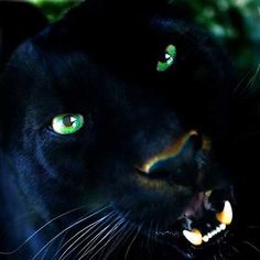 Big Wild Cats | What is going on with the Big Black Cats being seen all over the world ...