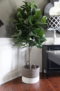 As we've all noticed,  the Fiddle Leaf Fig has taken over the design world. You can spot one in almost every amazing home the internet....