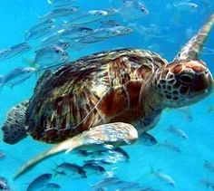 Swim with the turtles of the Galapagos Islands