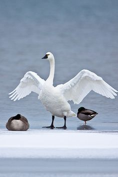 A Tundra Swan at the edge of the ice on Chequamegon Bay of Lake Superior, Wisconsin