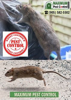 http://ift.tt/1HTKoXB  Rodent Control Service In Oakville ON  Reliable Most Effective Rodent Control Service In Oakville ON http://ift.tt/1eIZPl4 (905) 582 5502. The Best #1 Reliable Rodent Control Program Available For Home Owners . Fast Quotes & Reliable Value Service (289) 396 5426.  Rodents are similar to humans for the reason that they prefer an outside environment when conditions are good. However when the seasons change and also the weather brings cooler temperatures rats seek shelter…