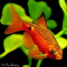 Male Rosy Barb.  These are beautiful fish!