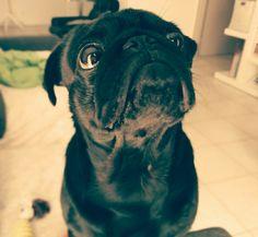 Harper #pugface