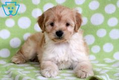 This Cockapoo puppy is a friendly puppy with lots of love to give. His amazing personality & gorgeous face will have the whole neighborhood talking! Cockapoo Breeders, Cockapoo Puppies For Sale, Cute Animals, Dogs, Fun, Pretty Animals, Cutest Animals, Pet Dogs, Cute Funny Animals