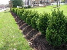 Image result for Green mountain Boxwood