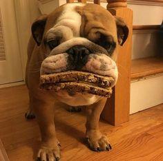 Cão da raça buldogue abocanhou sanduíche inteiro (Foto: Reprodução/Imgur/)