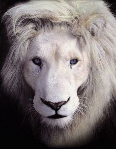 Rare African White Lion