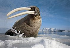 Walrus (Odobenus rosmarus), a large marine mammal with a discontinuous distribution about the North Pole in the Arctic Ocean Wildlife Photography, Animal Photography, Ocean Photography, Beautiful Creatures, Animals Beautiful, Le Morse, Alaska, Arctic Animals, Cut Animals