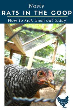 Easy Chicken Coop, Diy Chicken Coop Plans, Building A Chicken Coop, Raising Backyard Chickens, Backyard Poultry, Backyard Chicken Coops, Backyard Barn, Getting Rid Of Rats, Urban Chickens