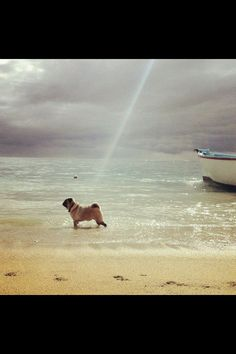 """...and God said, """"Let there be Pug!"""" ;)"""