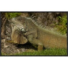 "East Urban Home 'Green Iguana Side View' Framed Photographic Print on Canvas Size: 16"" H x 24"" W x 1.5"" D"