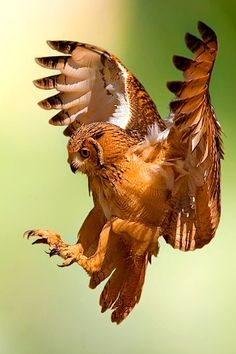 owl in for a landing - Flying (by Stefano Ronchi).