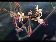 Pelargonium ceratophyllum - Species Succulent