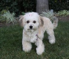 I fostered Cocoa in 2014 Meet COCO, a Petfinder adoptable Poodle Dog   Newport Beach, CA   ~ ADOPTION PENDING ~You may meet and apply to adopt Coco at our ADOPTION EVENT on SATURDAY, MARCH...