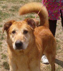 CONRAD is a neutered male Golden Retriever/Shepherd mix, large in size and 4 years old.  He's house-trained, and good with dogs, cats and kids.  Conrad is smart, walks well on lead, loves water, and comes with glowing recommendations from shelter volunteers.  He's just made for pethood!  Spread the word!    http://www.lastdaydogrescue.org/animals/detail?AnimalID=4939684