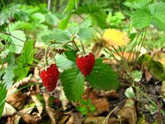 Wild strawberries were a treat when I was a kid. I only ate them at my grandma's allotment. Handfuls of them:)
