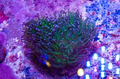 Coral and Live Rock 177797: Purple Tip Torch Coral Colony - Wysiwyg - 4 -> BUY IT NOW ONLY: $85.0 on eBay!