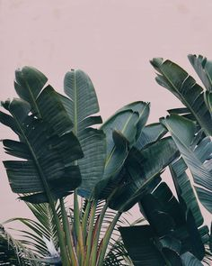 """Polubienia: 333, komentarze: 7 – Plantarium  Plants & Decor (@plantarium_art) na Instagramie: """"Różowy + rośliny =perfect mach #pink #plants #strelizianicolai #strelitzia #madeira #picoftheday…"""""""