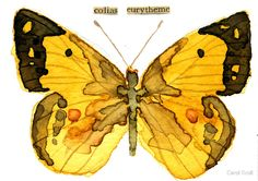 «Colias Eurytheme (Alfalfa Butterfly)» de Carol Kroll