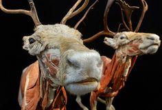 """Exposición: El Mundo Corporal de los Animales.   El doctor alemán Gunther von Hagens ha creado una nueva muestra donde revela el interior de los animales. Se trata de la exhibición """"Body Worlds of Animals"""", cuya primera parada es la ciudad suiza de Gossau, donde estará hasta enero 2013."""