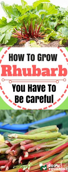 How To Grow Rhubarb And Make Pies, But You Have To Be Careful #rhubarb#garden#gardening#growyourmint.com