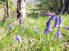 English bluebells by Rachel Lucie