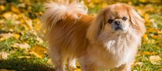 Pekingese puppies for sale! These fun-loving, affectionate Pekingese puppies do well with children and other pets. They are definitely lovable lapdogs. Pekingese Puppies For Sale, Pekinese, Greenfield Puppies, Lap Dogs, Bichon Frise, Maltese, Poodle, Places To Visit, Cute Animals